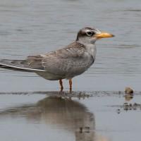 river-tern